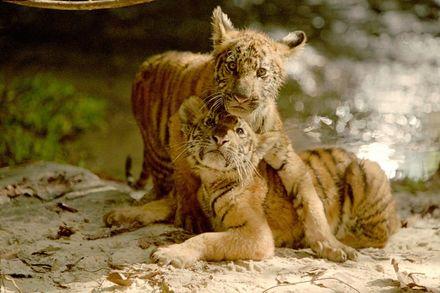 两只可爱的小老虎,出生在东南亚的丛林中,在虎父虎母身边过着无忧无